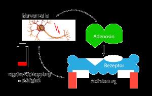 Nervenzelle, Adenosin und Rezeptorwirkung
