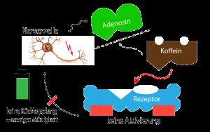 Nervenzelle - Koffein - Rezeptor